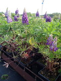 Lupinus polyphyllus ´Camelot Blue´