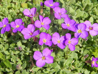 Aubrieta hybrida ´Audrey Light Blue´